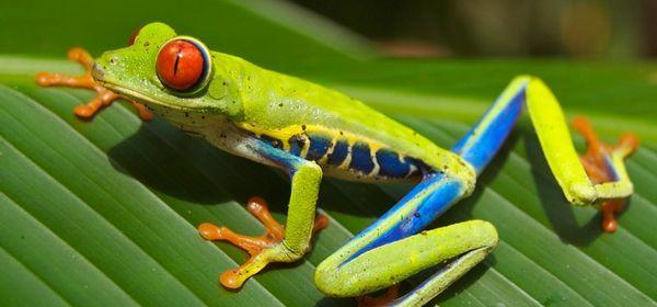 Clonage : une espèce de grenouille ressuscitée