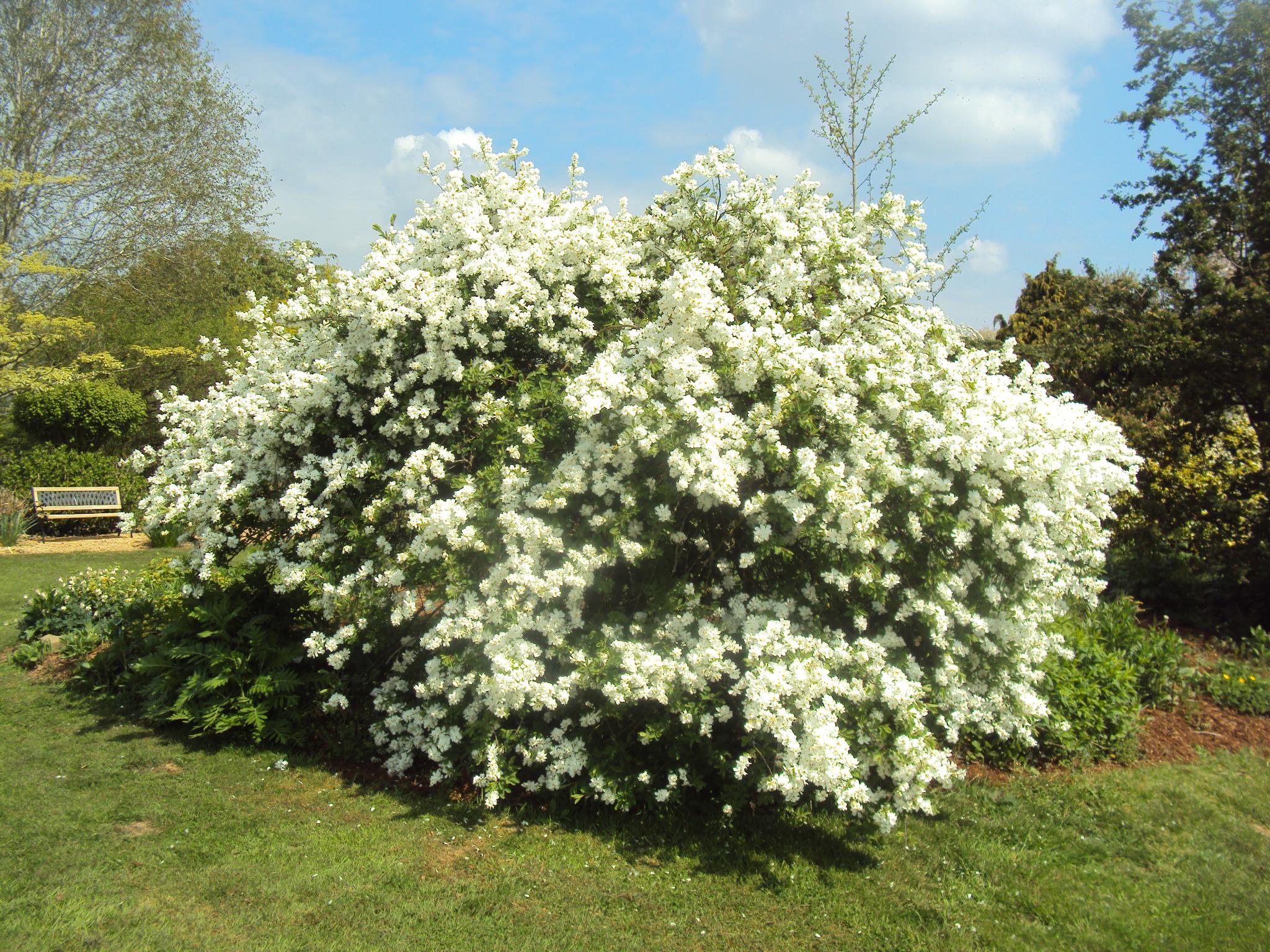 1) Exochorda racemosa 'the bride'