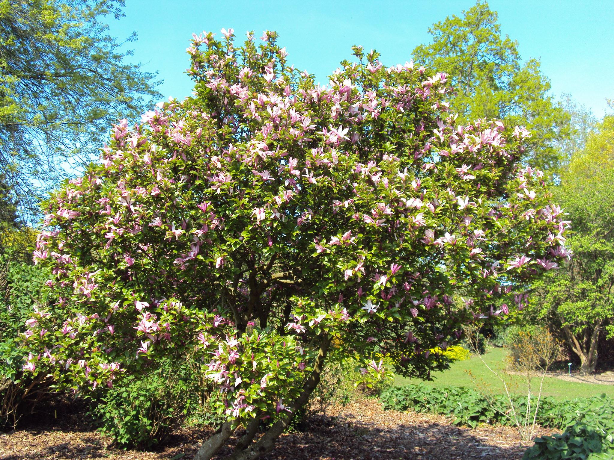 12) Magnolia 'Susan'