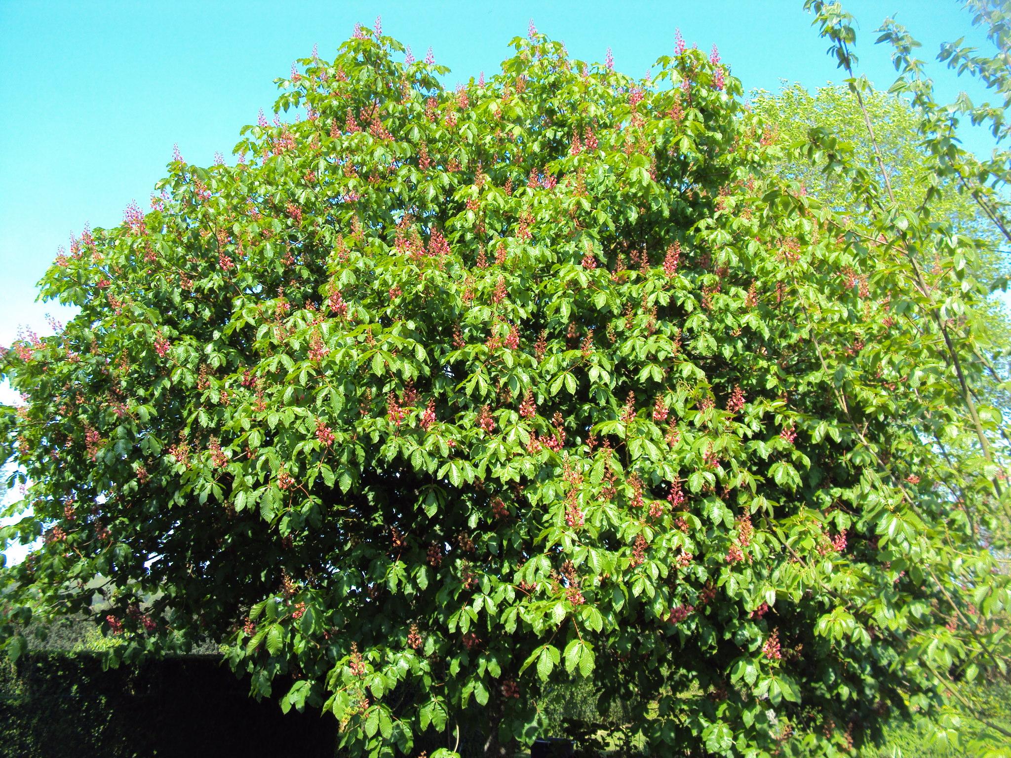 15) Marronnier rouge