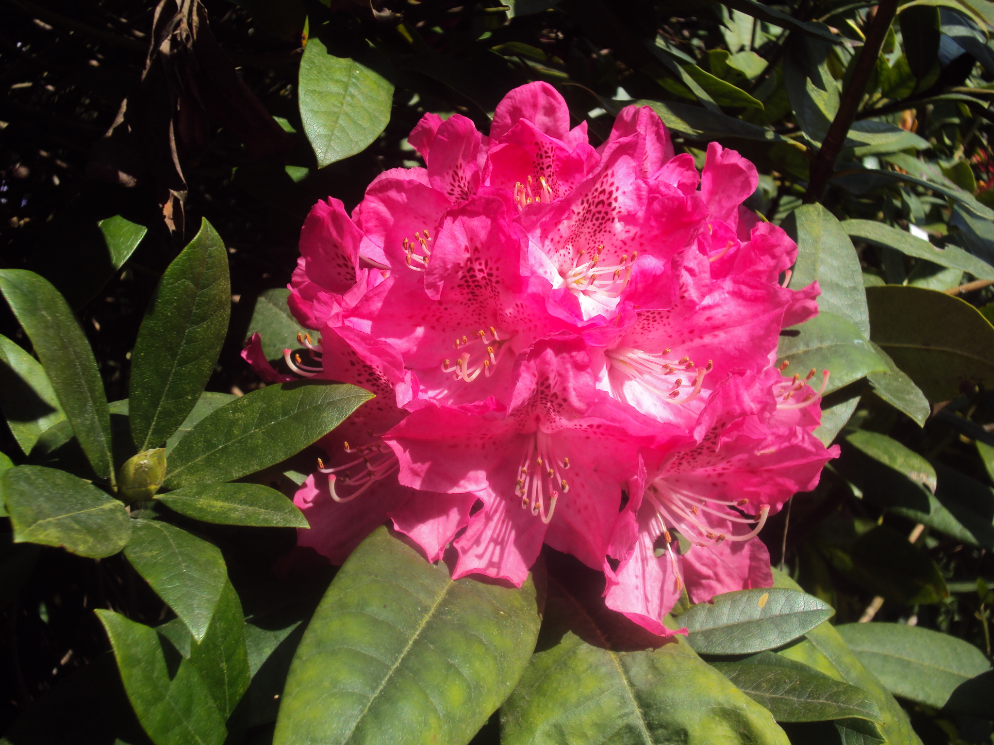 2) Rhododendron