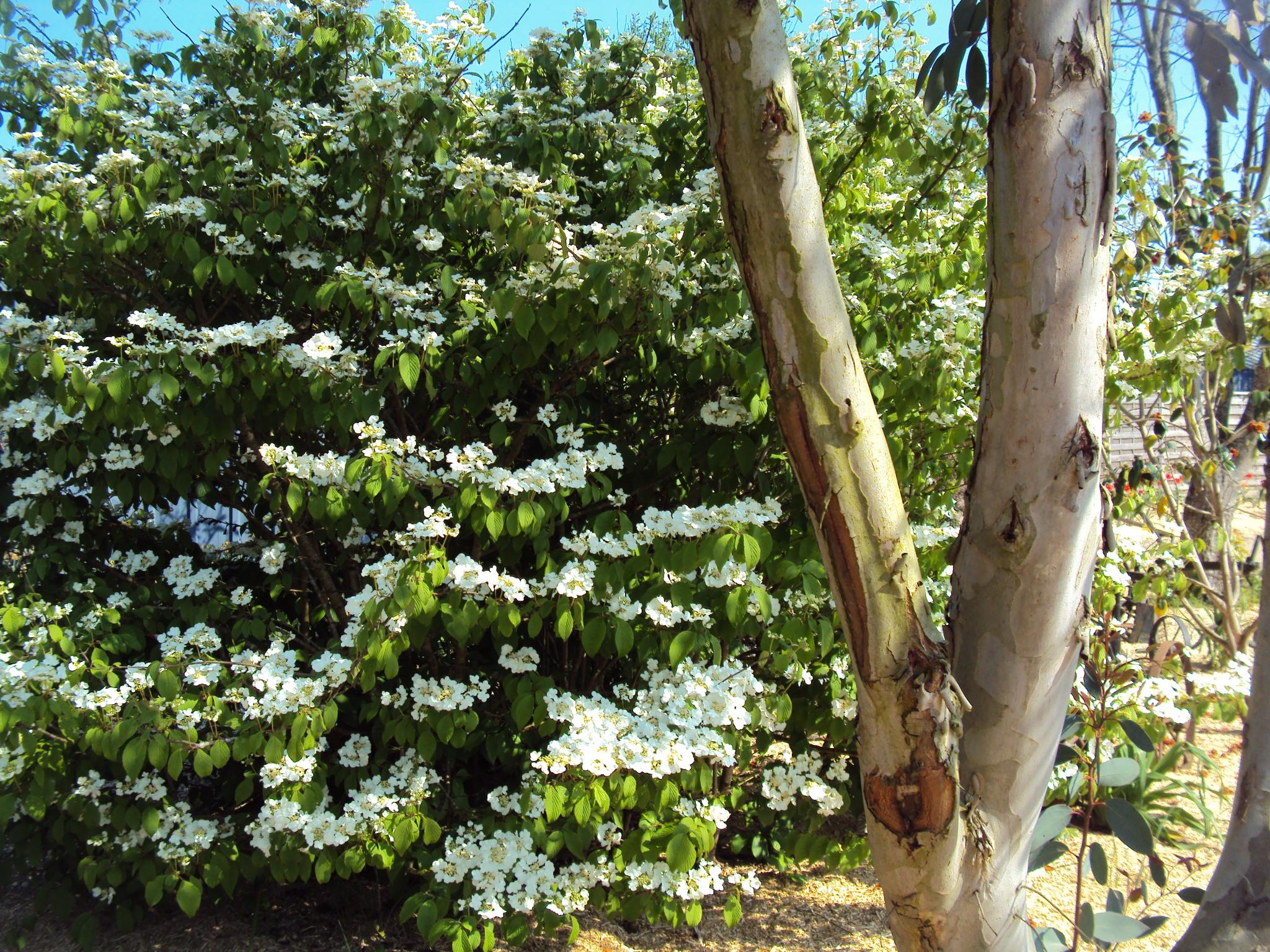 21) Viburnum mariesi