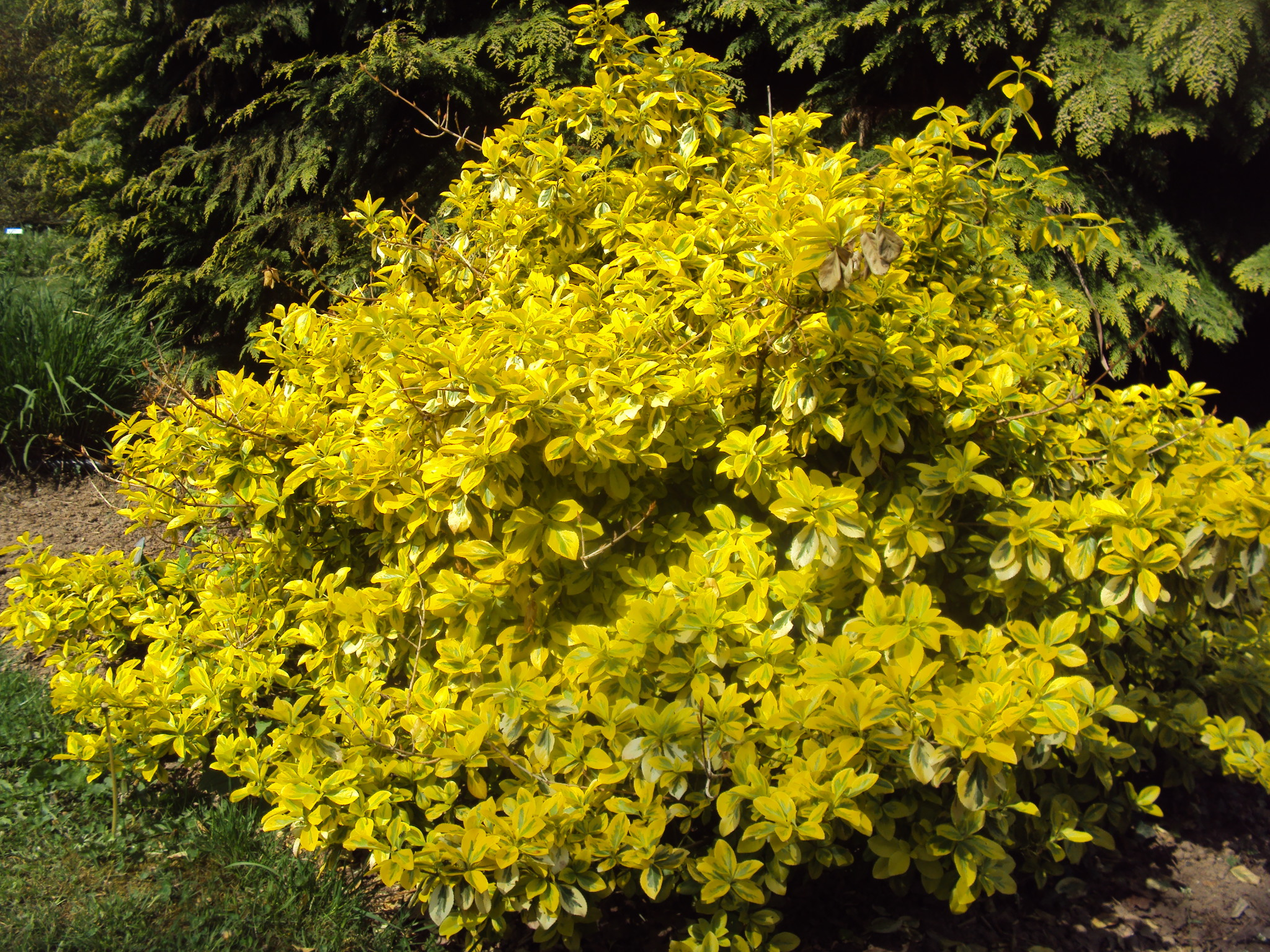 4) Euonymus fortunei 'emerald'n gold'