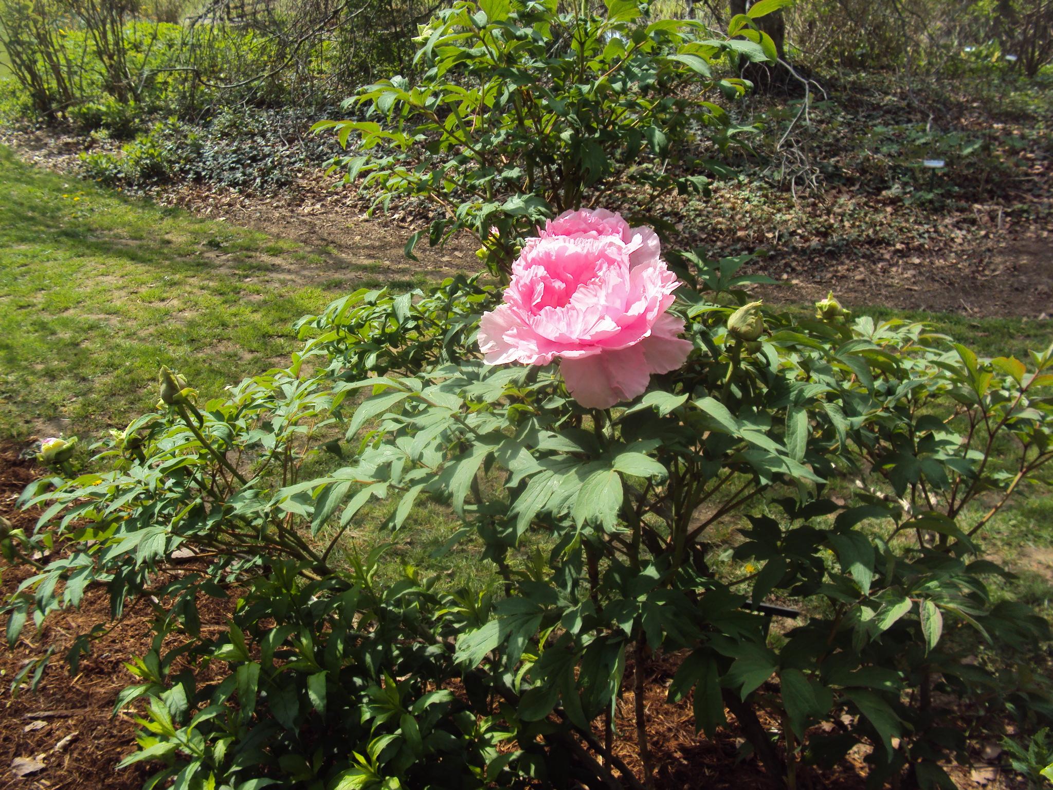7) Pivoine arbustive paeonia suffruticosa